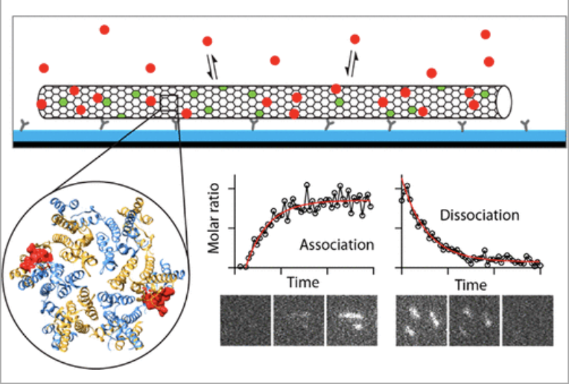 Fluorescence Biosensor for Real-Time Interaction Dynamics of Host Proteins with HIV-1 Capsid Tubes