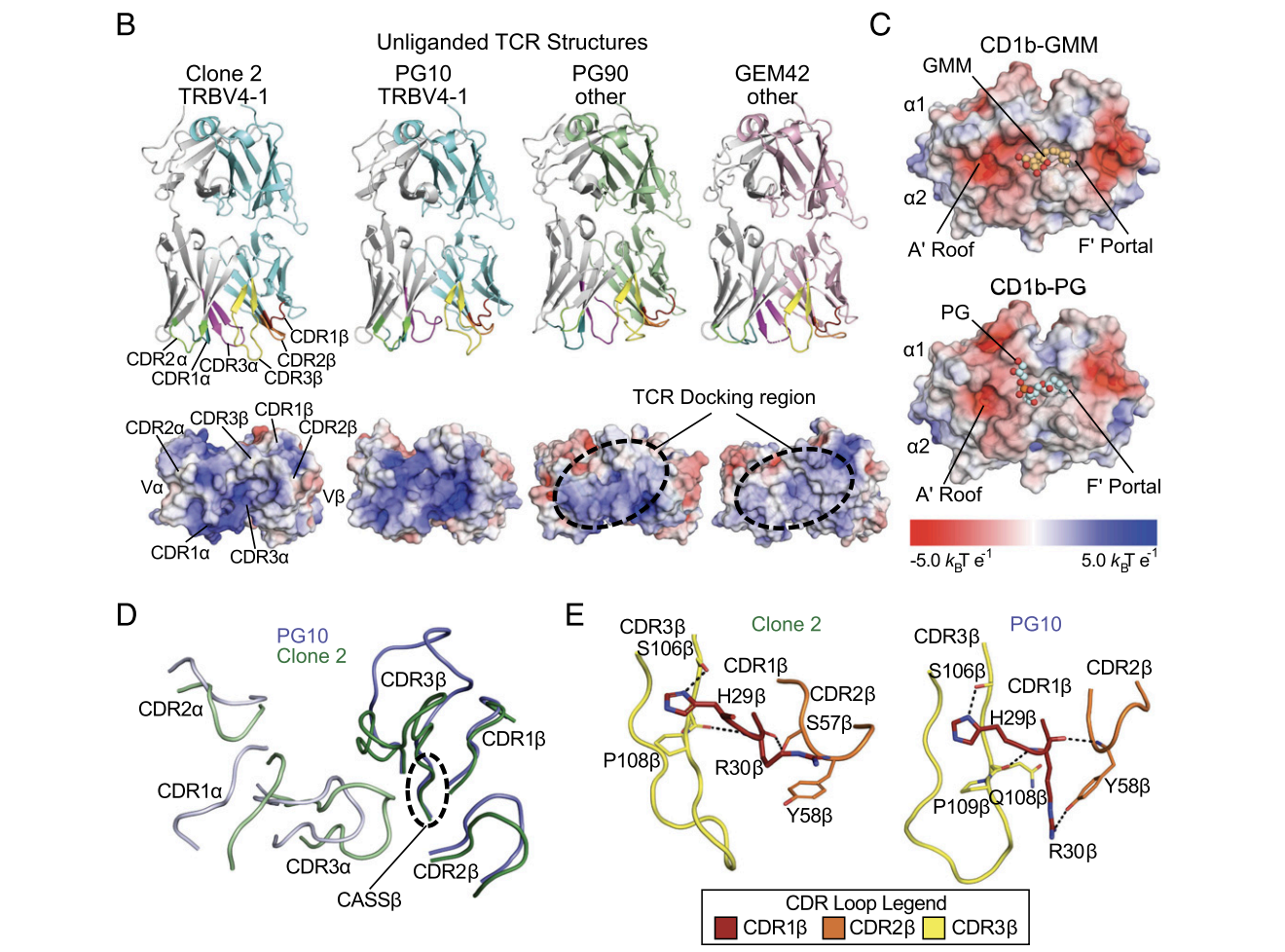 A TCR β-Chain Motif Biases toward Recognition of Human CD1 Proteins