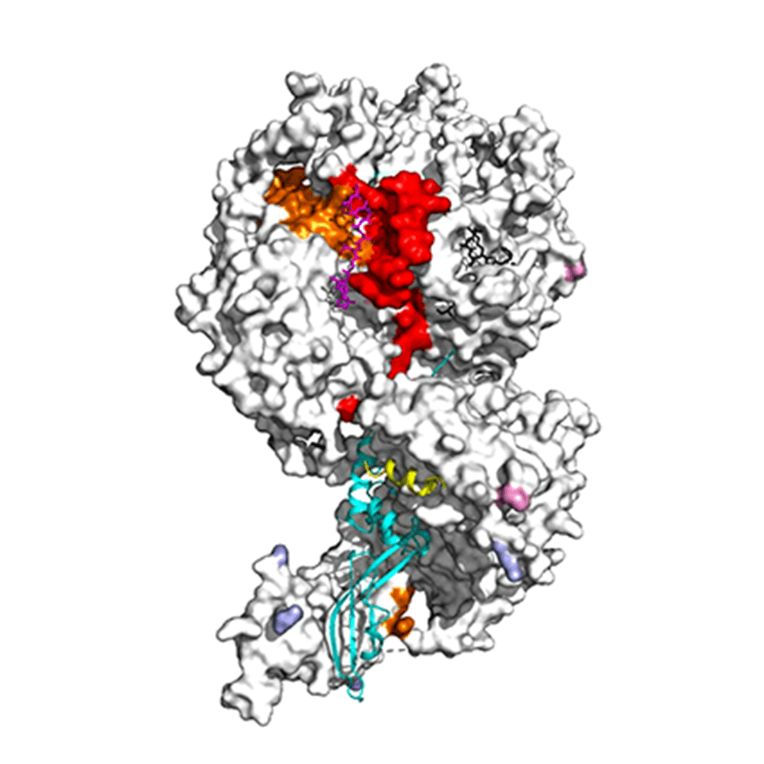 Presented are molecular interactions between PRC2 to its regulatory factors, as were identified by Zhang & McKenzie et al. using cross-linking with mass-spectrometry and mapped to 3D structures that were recently published (Kasinath et al. 2018; Chen et al. 2018; Li et al 2017). RNA-binding sites are represented in red and orange and protein-binding sites are in assorted colours.