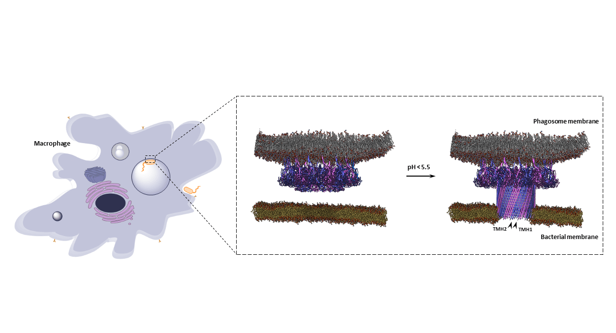 Depicting the proposed mechanism by which MPEG1 acts to kill bacteria within the macrophage phagolysosome. MPEG1 orientation prevents damaging the macrophage membrane.
