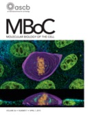 An RPTPα/Src Family Kinase /Rap1 signaling module recruits Myosin IIB to support contractile tension at apical E-cadherin junctions.
