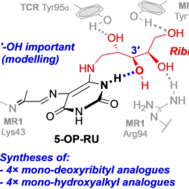 Computer Modelling and Synthesis of Deoxy and Monohydroxy Analogues of a Ribitylaminouracil Bacterial Metabolite that Potently Activates Human T Cells