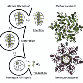 Cellular IP6 Levels Limit HIV Production while Viruses that Cannot Efficiently Package IP6 Are Attenuated for Infection and Replication